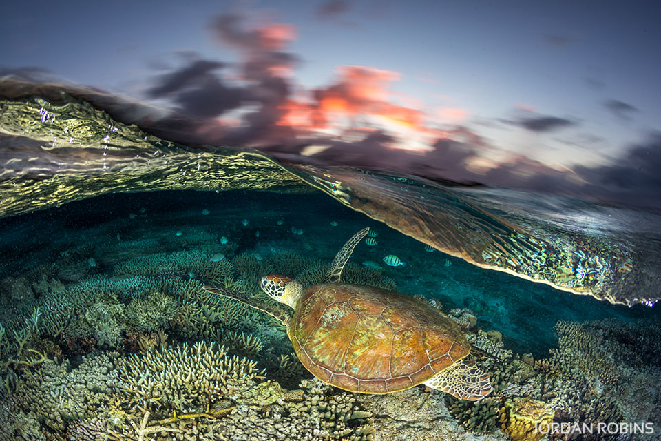 Green Sea Turtle Sunset Great Barrier Reef 5 Jordan